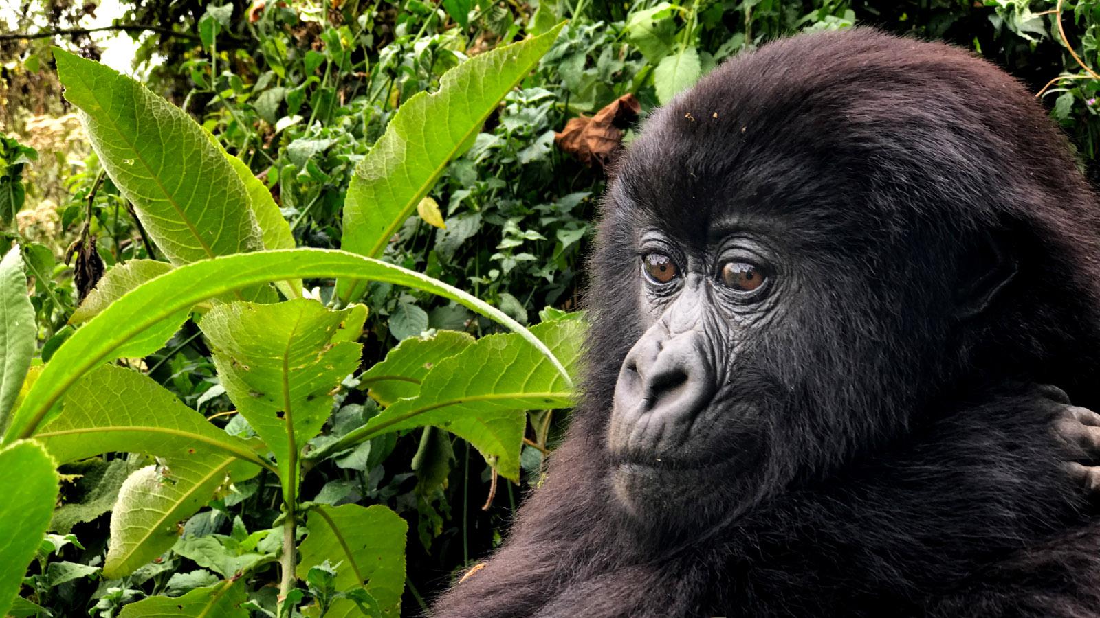 Gorila fotografiado por Austin Mann con la lente de 56mm del iPhone 7 Plus