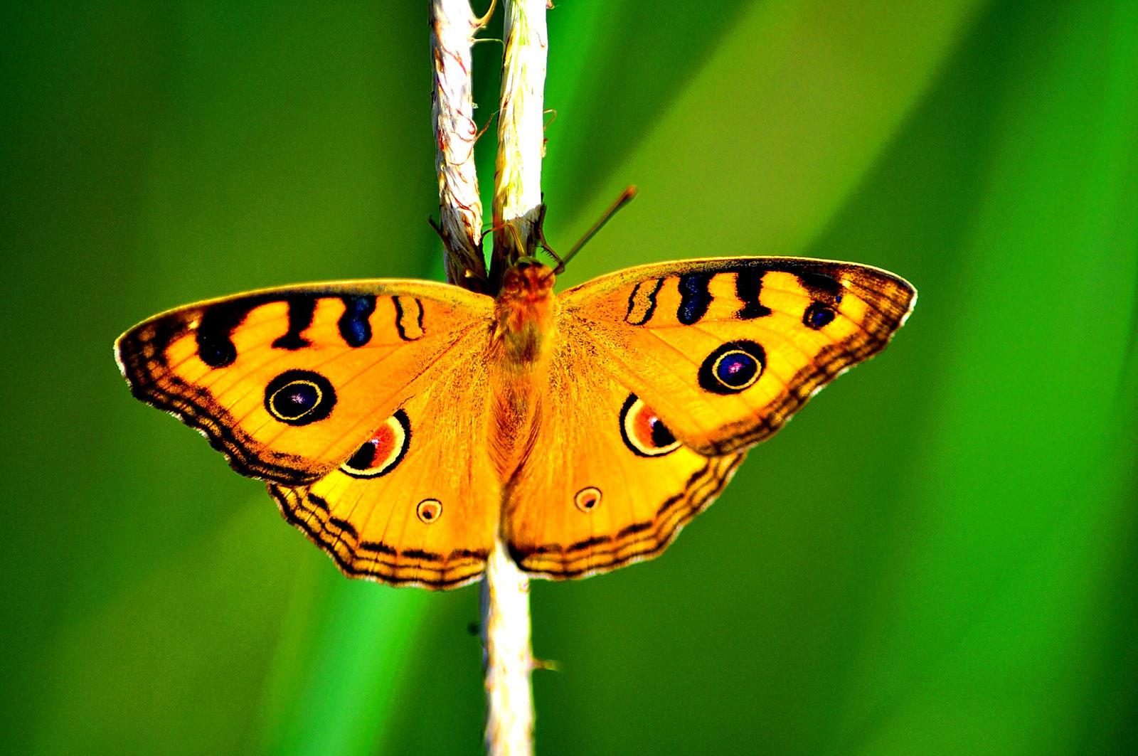 Fondo De Pantalla Semanal: Mariposa